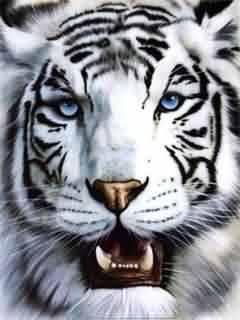 Papis de parede para celular grtis animais 240x320 papel de parede para celular animais tigre branco altavistaventures Images